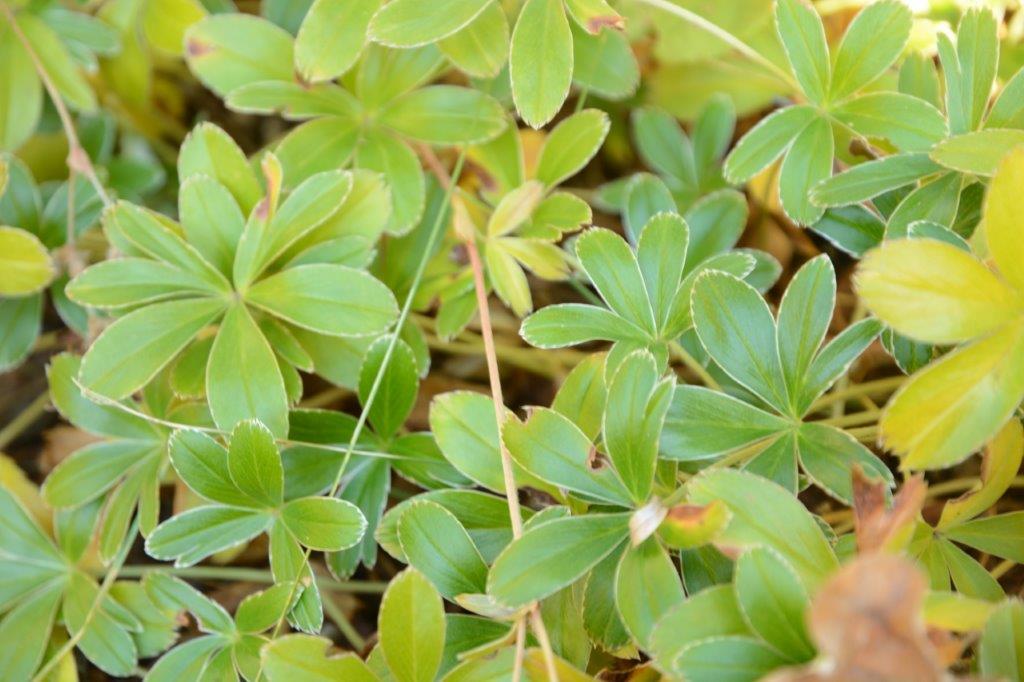 Söt liten daggkåpa (fjällkåpa tror jag) med blanka blad. Just den här sorten är superfin med en tunn vit kant på bladen. Jag tycker daggkåpa är en underskattad växt. Tålig som få, med vackert limegula blommor som passar mot mycket. Hos mig täcker en daggkåpa (den vanliga) ett torrt och skuggigt hörn där allt annat vägrar hålla sig vid liv. Alchemilla saxatilis rosaceae