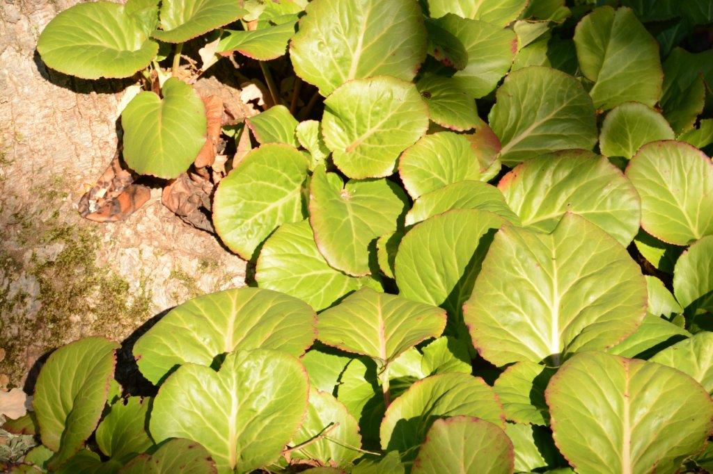 Bergenia cordifolia Bergenia