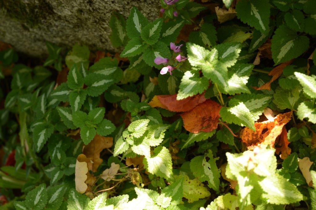 Rosenplister. Just denna var kanske inte den finaste, det finns sorter med mycket mer ljust, nästan silvrigt på bladen med blommor i rosa, vitt eller violett. Den lyser upp i skuggan och täcker snabbt in stora ytor. Den håller sig ganska fin under vintern. Kan bli lite väl spridingsbenägen dock, så den passar bäst där den får breda ut sig. Den trivs med det mesta, sol, skugga torrt, fuktigt... och kan bli ett ogräs. Men den är fin, tycker jag. Få se om jag vågar ge den en plats i min trädgård. Lamium maculatum