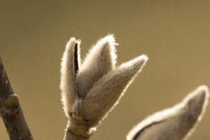 Magnolia knopp